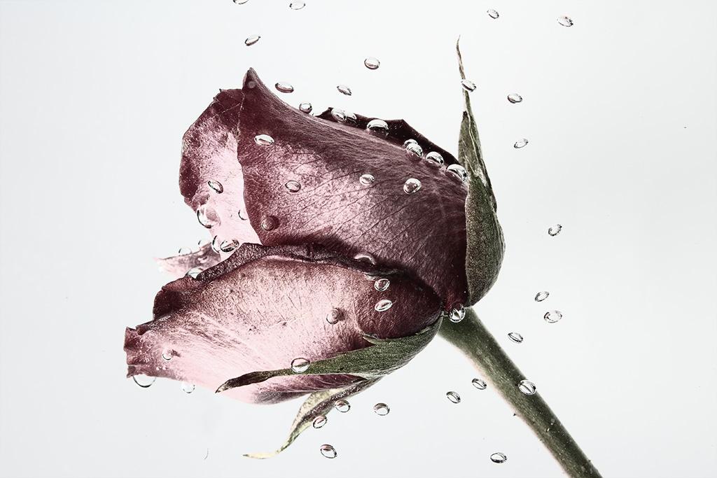 Płacząca Róża, fot. Katarzyna Różańska