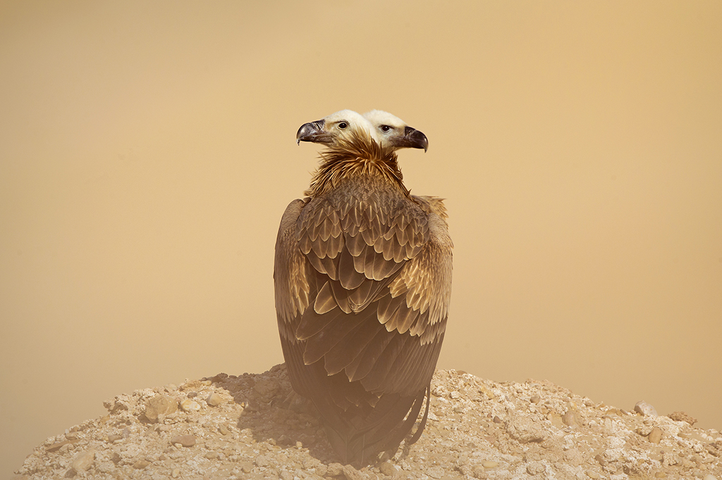 double head vulture