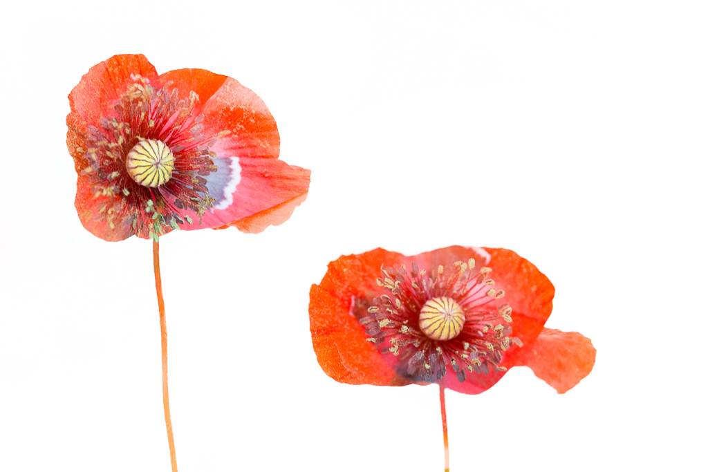 Poppy Layers