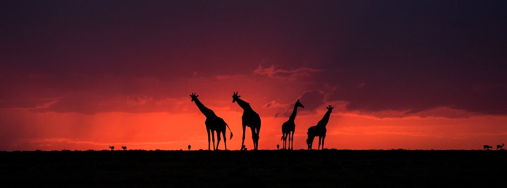 Giraffes at sun set