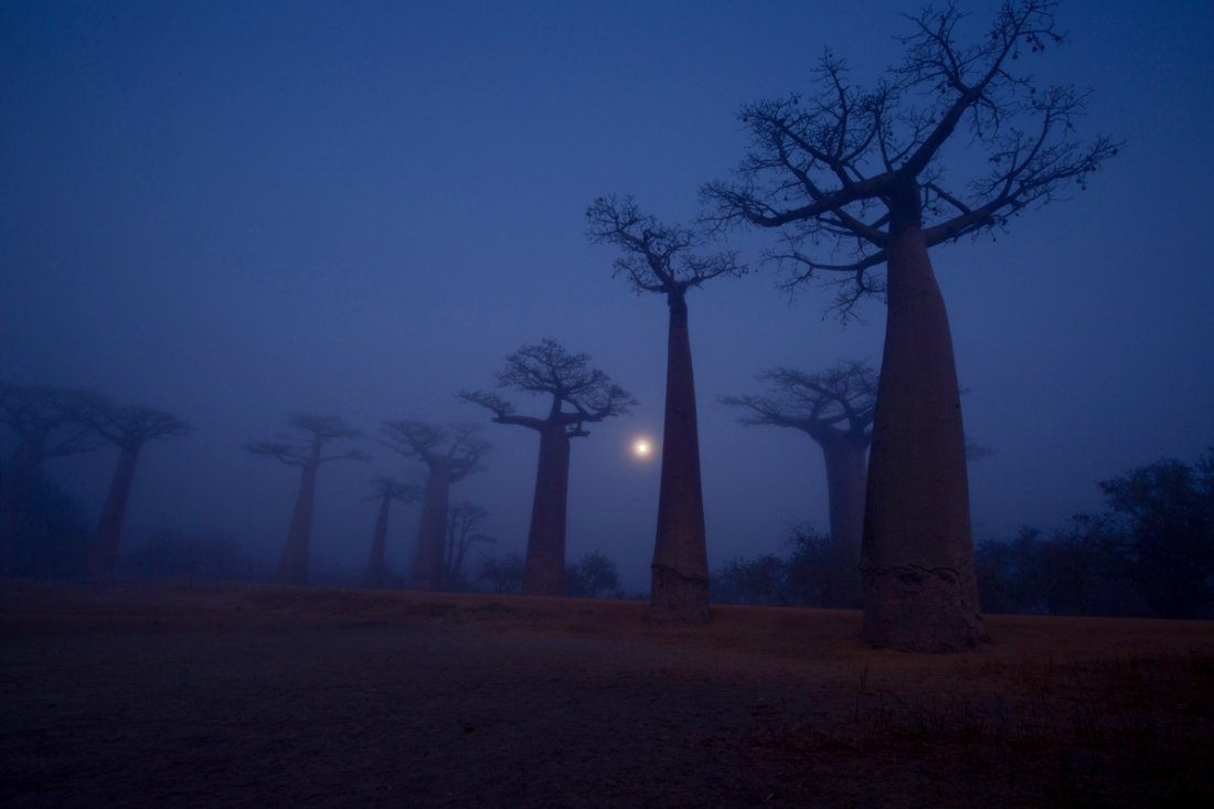 Baobabs in the fog