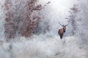 Stag in autumn and winter