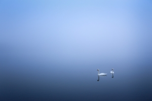 Swans in the Fog