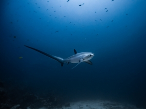 The rare and majestic thresher shark