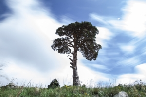 Lonesome Pine (to the Sentinel)