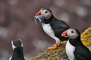 puffin too proud