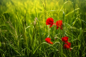 Poppies among the grass