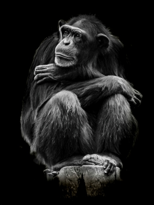 Portraits of Chimps